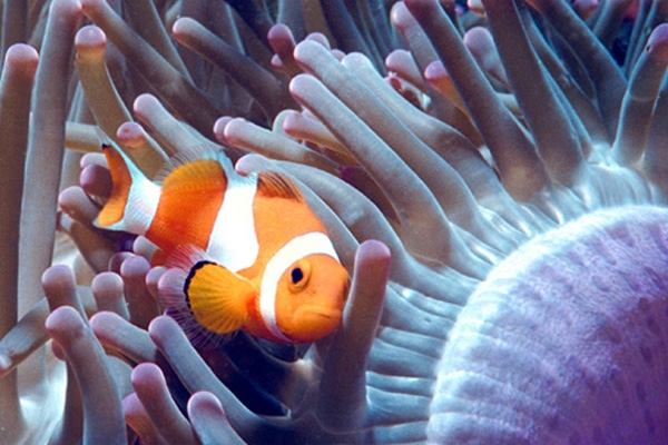 clown fish-2
