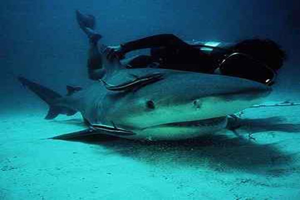 shark with diver