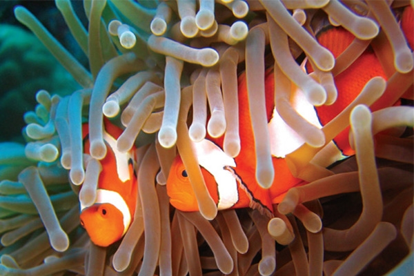 clown fish-1