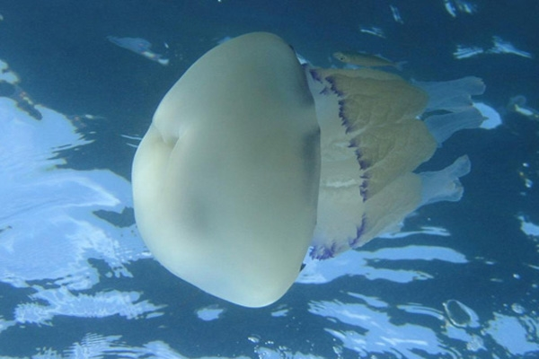 jelly fish-1