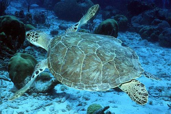 green sea turtle-3