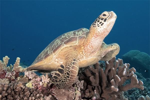green sea turtle-2
