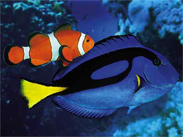 clown fish- tang fish