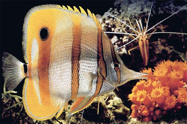 butterfly fish-2