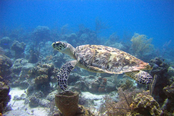 green sea turtle-1