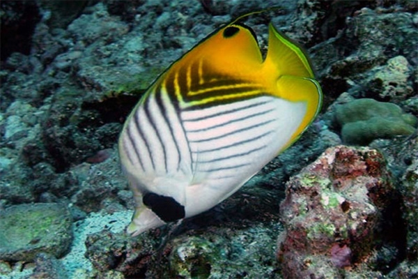butterfly fish-1