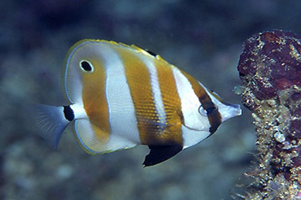 butterfly fish-3