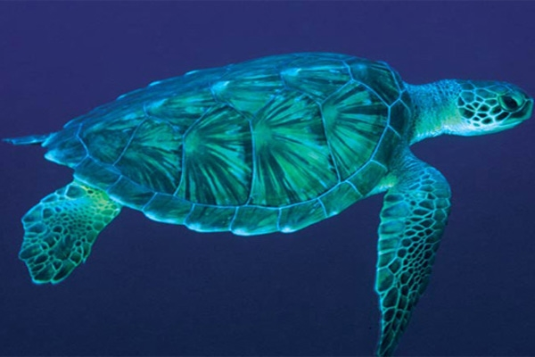 green sea turtle-4