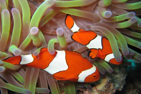 clown fish-3